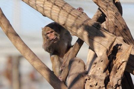 Macaque. Kathy West. CNPRC. 9