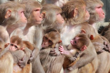 Macaques. Kathy West. CNPRC. 17
