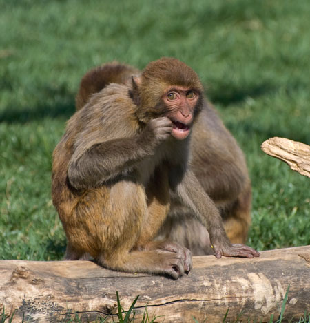 Macaques. Kathy West. CNPRC. 18