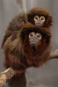 Marmosets. Kathy West. CNPRC.