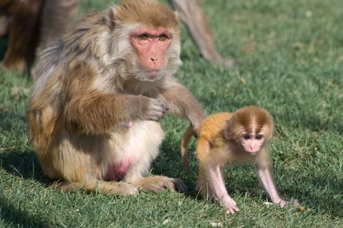 Rhesus monkeys at the California National Primate Research Center. Photo credit: Kathy West