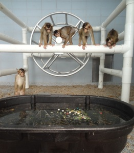 Pigtail macaques at the Washington National Primate Research Center