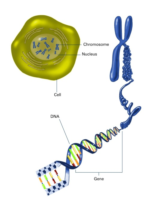 Packaging of DNA into the nucleus
