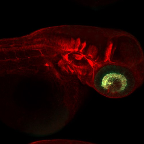 A two day old transgenic zebrafish embryo (Wikimedia Commons / IchaJaroslav)