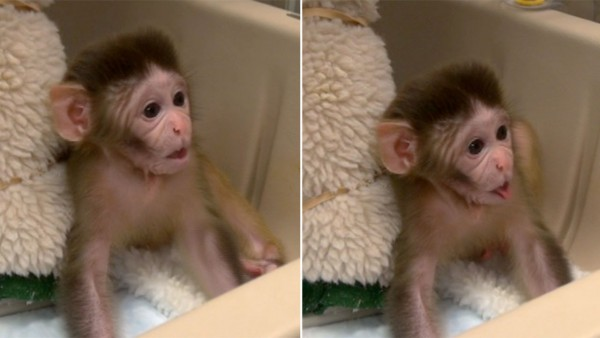 Monkeys involved in developmental and behavioral research at Stephen Suomi's lab in Poolesville