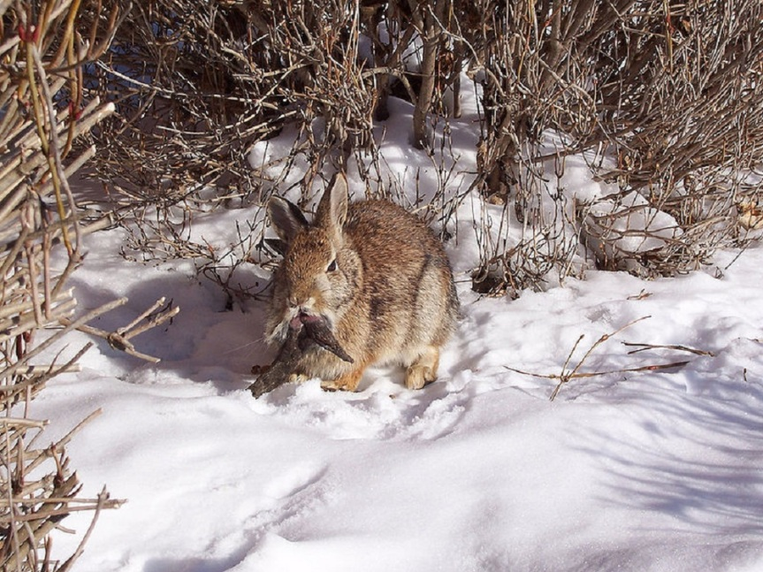 Wild rabbit with tumors caused by papillomavirus infection