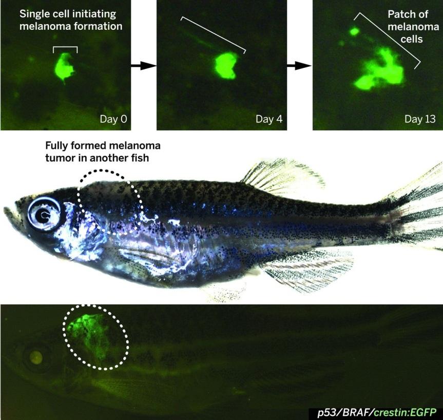 Image: Kaufman, C.K., et al, 2016. A zebrafish melanoma model reveals emergence of neural crest identity during melanoma initiation. Science, 351(6272), p.aad2197. DOI: 10.1126/science.aad2197