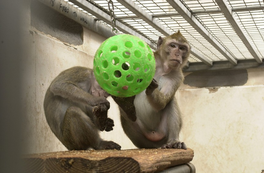 Image of macaques for illustrative purposes.  Image courtesy of: Understanding Animal Research