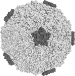 Rhinovirus caption: Surface of the human rhinovirus 16, one of the viruses which cause the common cold. Source:Wikipedia Commons