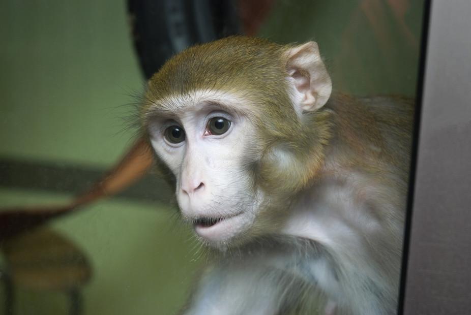 One of Newcastle's macaque monkeys. Newcastle University, Photo credit: S. Baker