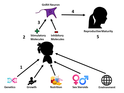 Hypothesized model for the initiation of puberty. (1) Internal and external factors are communicated to the body. (2) Next, these factors are relayed through various signaling pathways to stimulatory and inhibitory molecules present in neurons located in the hypothalamus. (3) Stimulatory and inhibitory molecules travel to GnRH neurons and affect the release of GnRH. (4) GnRH stimulates reproductive processes that are critical for the initiation of puberty. (5) Once all of the proper conditions are met, reproductive maturity is attained.