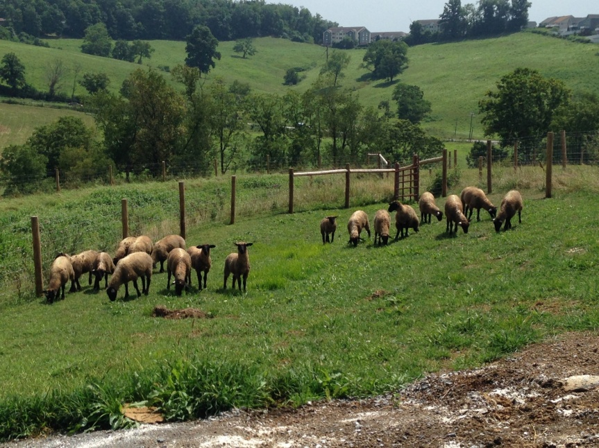 sheep-in-reproduction-research