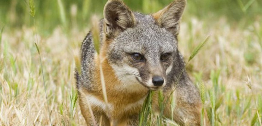 An endangered fox in the California Channel Islands
