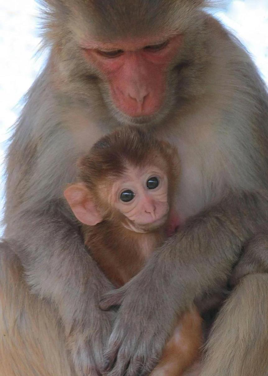 Rhesus monkey (Macaca mulatta) mother and infant. Photo: Kathy West.