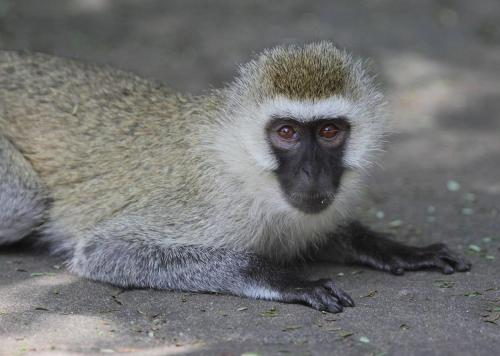 Vervet monkey (Chlorocebus aethiops sp.). Photo: Kathy West.