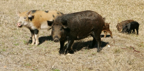 Feral pigs are an invasive species in the California Channel Islands