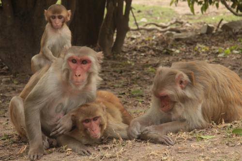 Rhesus Macaques - Laurent Brent