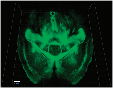 intact adult mouse brain imaging