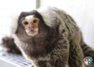 Marmoset monkey.